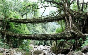 living_root_bridges_1