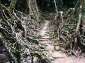 living_root_bridges_3