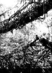 living_root_bridges_4