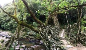 living_root_bridges_6
